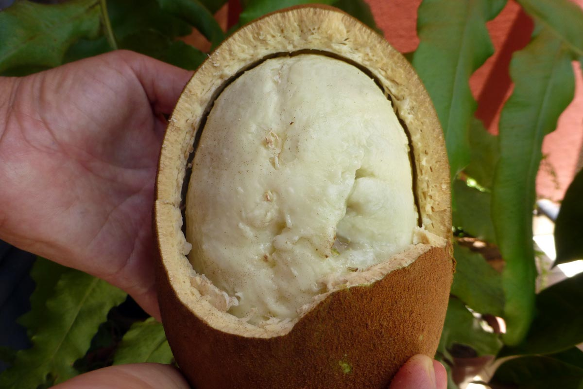Cupuaçufrucht © guentermanaus, fotolia