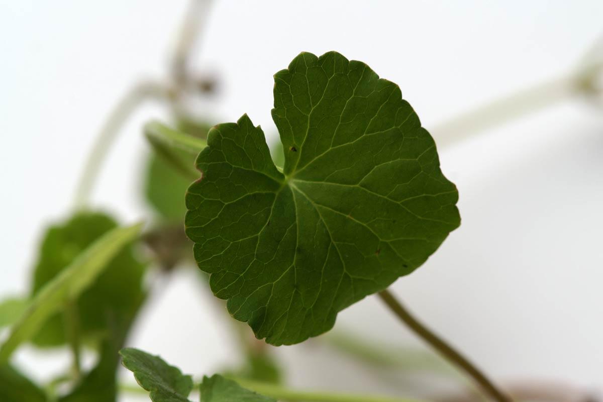 Centella asiatica (Blatt)