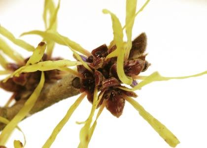 Hamamelis (Blüten)