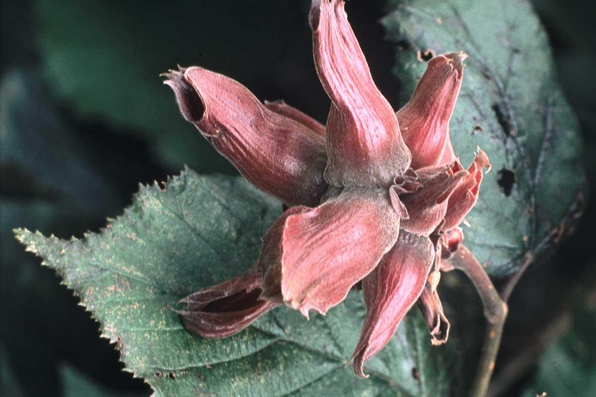 Haselnussblüte, © Henry Lamotte Oils GmbH
