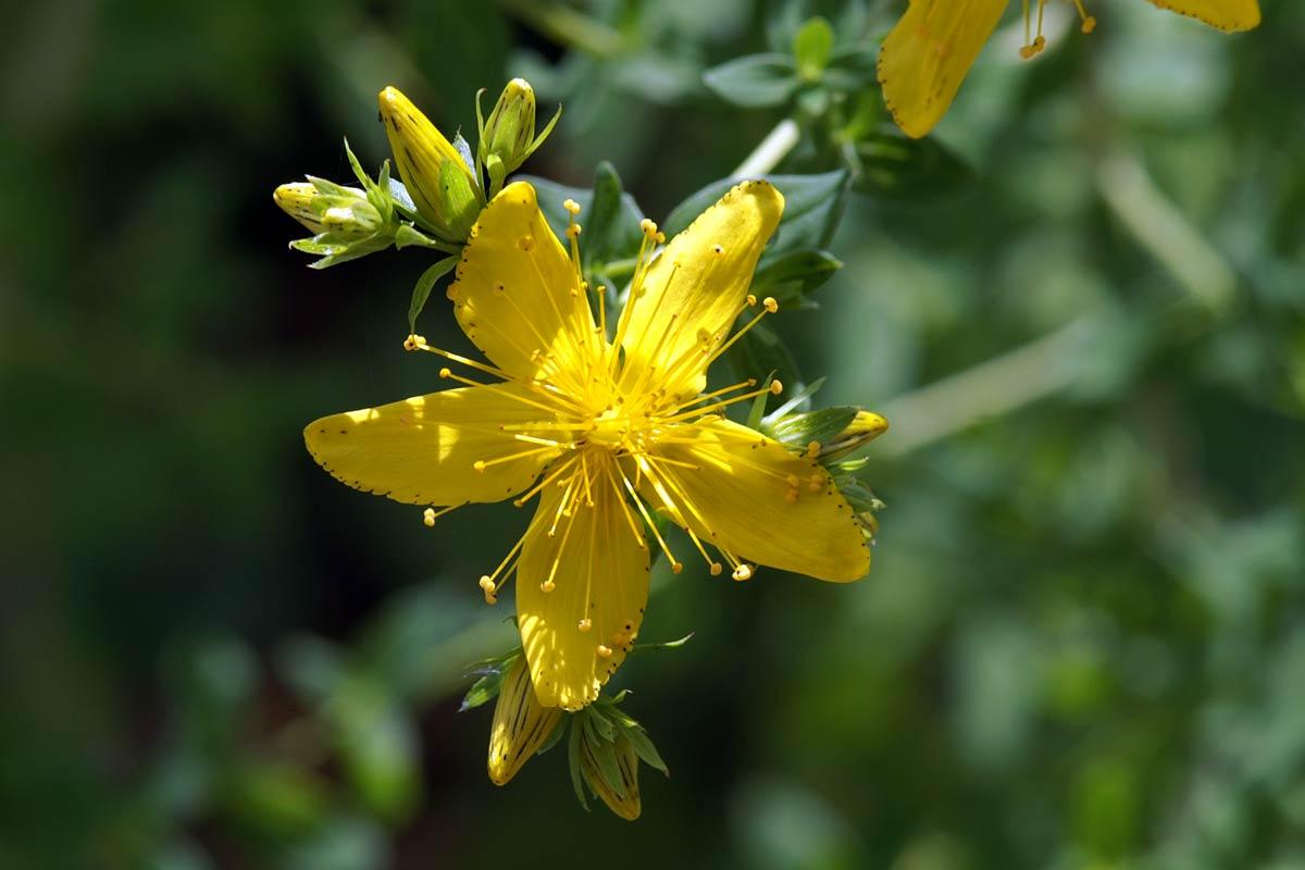 Blüte des Echten Johanniskrauts