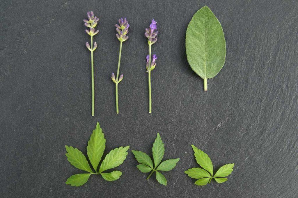 Verschiedene Kräuter (Lavendel, Salbei, Jiaogulan)