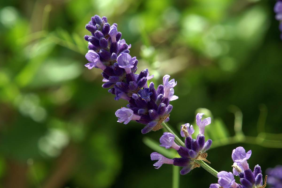 Lavendelzweig mit Blüten