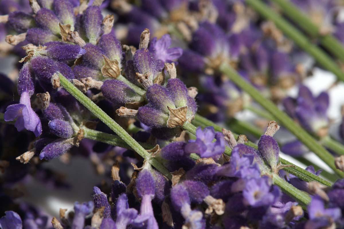 Frisch geernteter Lavendel