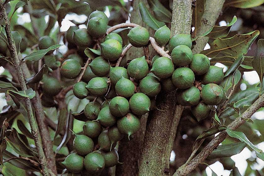 Macadamianüsse am Baum, © Henry Lamotte Oils GmbH