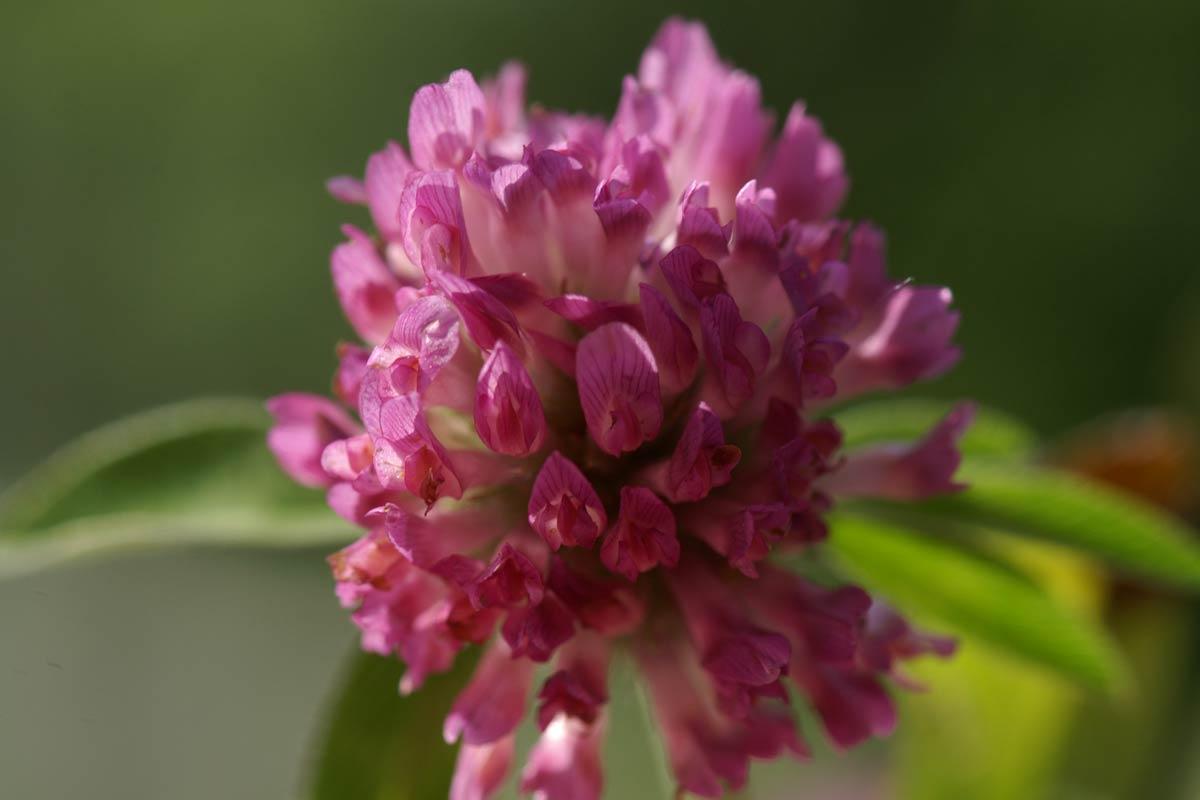Rotklee: Blüte