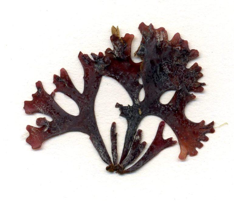 Chondrus Crispus (Irisch Moos)
